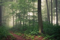 In the Heart of the Forest (Netsrak) Tags: baum bäume eu europa europe landschaft natur nebel wald fog landscape mist nature tree trees woods rheinbach nordrheinwestfalen deutschland