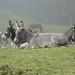 Les ânes se reposent