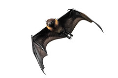 Wow! You must be a Pro... (chandra.nitin) Tags: animal bif bat bird deerpark flying greaterindianfruitbat indianflyingfox mammal nature outdoor pteropodidae pteropusgiganteus wildlife newdelhi delhi india
