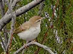 Pouillot de Bonelli (chriscrst photo66) Tags: aude leucate garrigue nikon ornithology ornithologie wildlife nature photography photographie pouillotdebonelli passereau oiseau animal bird