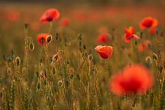 Everning lights (GlebLv) Tags: sony a7m3 sel70200g poppies italy lombardia field outdoor dusk nature petal poppiesfield backlight evening flowers