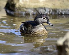 _DSC1294.jpg=40419Wood Duck (laurie.mccarty) Tags: woodduck wissahickoncreek duck bird nature naturephotography wildlife nikond810 aixsponsa