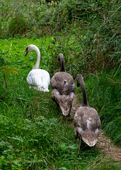 Three swans in a row or some food is passing by… (WonderfulSnaps.com) Tags: young brown swans swan natural fluffy lake duck closeup beak outdoor summer white bird wild green grass wildlife animal 2019 brno holasky nature