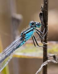 Common Blue Damselfly (Rob Whyles) Tags: british wildlife canon eosr fullframe mirrorless nature sigma macro 105mm commonblue damselfly damselflies rspb langfordlowfields notts nottinghamshire