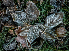 frosty leaves (marinachi) Tags: leaves frost fall closeup cold green brown sundaylights