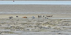 Seals (Clare_leeloo) Tags: commonseal seals nature wildlife mammals