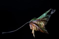 Well Aged (KellarW) Tags: umber colorfulleaf singleleaf dry macro decay crinkle dryedup green leaf decaying aged brown mapleleaf onblack crinkly