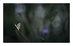 Entangled (Nick green2012) Tags: macro common blue butterfly silence
