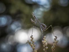 Entre luces. (Jesus Tejon) Tags: empusa macro macrofografia mantis olympus insectos nature naturaleza