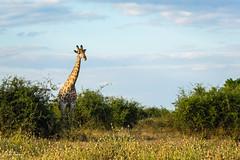 African giraffe (He Ro.) Tags: 2018 africa africangiraffe afrika botswana chobenp choberiver serondela southernafrica botsuana wildlife animal giraffe ngc