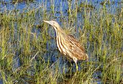 Skulker (Patricia Henschen) Tags: americanbittern bird wading wetland alamosanationalwildliferefuge alamosa colorado nationalwildliferefuge sanluisvalley american bittern