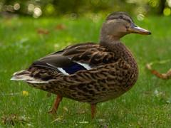 _MG_3496 (jablonskii) Tags: park czj tessar 50mm apsc nice day duck