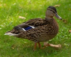 _MG_3486 (jablonskii) Tags: park czj tessar 50mm apsc nice day duck