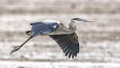 Blue Heron (gary_photog) Tags: nature blueheron bif wildlife arkansas birds fantasticnature coth coth5 alittlebeauty specanimal