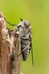 Tabanus autumnalis (Large Marsh Horsefly) female - Tabanidae - Sutton Park NNR, Birmingham, Warwickshire, UK-2 (Nature21290) Tags: birmingham diptera july2019 largemarshhorsefly suttonpark tabanidae tabanus tabanusautumnalis uk warwickshire insect