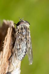 Tabanus autumnalis (Large Marsh Horsefly) female - Tabanidae - Sutton Park NNR, Birmingham, Warwickshire, UK (Nature21290) Tags: birmingham diptera july2019 largemarshhorsefly suttonpark tabanidae tabanus tabanusautumnalis uk warwickshire insect