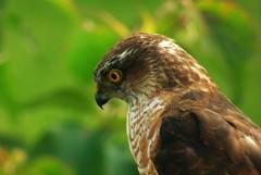 Sparrow Hawk watching a Sparrow..x (Lisa@Lethen) Tags: sparrow hawk bird garden outside kitchen window nature eyes