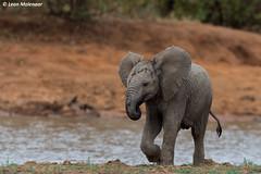 Baby Elephant (leendert3) Tags: leonmolenaar southafrica krugernationalpark naturereserve wildlife wilderness wildanimal nature naturalhabitat mammal africanelephant ngc npc naturethroughthelens