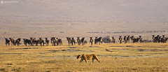 20190724 Tanzania-Ngorongoro (55) R01 (Nikobo3) Tags: áfrica tanzania ngorongoro animales naturaleza vidasalvaje safari travel viajes nikon nikond610 d610 nikon300mmf4epfvr tc14eiii nikobo joségarcíacobo paisajes panorámicas