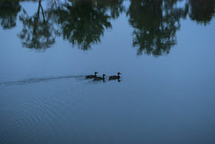 Ducks Swimming at Dusk (jolynne_martinez) Tags: kansascity missouri lake zajic englewoodpark park tree trees reflection reflected water pond duck ducks duckling ducklings blue silhouette swimming paddling nikon nikond60