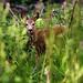 Chevreuils - faons - Phalempin - Roe deer