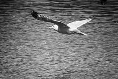 In Flight (John Fenner) Tags: olympus em1 markii mzuiko 40150mm f28 london regentspark seagull bird fight flying nature black white mono