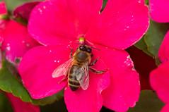 Day 54 (.Ivandrago.) Tags: pentaxkr tamron90mm tamron90mmsp125 natureinfocusgroup bee flower macro