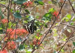 (Salete G) Tags: borboleta saleteg vermelho planta animal