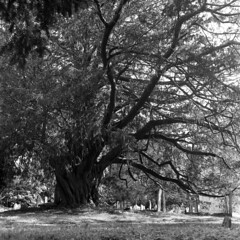 Yew (4foot2) Tags: stmaryschurchwalberton stmaryschurch walberton yew taxusbaccata taxus tree church churchyard graves analogue film fourfoottwo filmphotography 120film mediumformat bw blackandwhite monochrome mono ilford ilfordhp5plus hp5plus kodakhc110 hc110 kodak rolleiflex rollei 2019 4foot2 4foot2flickr 4foot2photostream rolleiflex35c twinlensreflex tlr