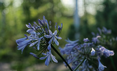 Agapanthus africanus @ f5,6 (Fotoopian) Tags: circularpolarizer dxophotolablightroom6 kiron ouluuniversitybotanicalgarden pkmount photomerge vivitar100mm28mcmacrotelephotosn22701773 afrikansinisarja agapanthusafricanus availablelight bokeh closeuppanorama f56 fiveimagestitch flower handheld vintageprime