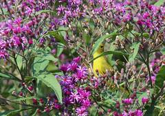 YWIMG_4642-1 (Wildlife Paparazzi) Tags: yellowwarbler cincinnatinaturecenter