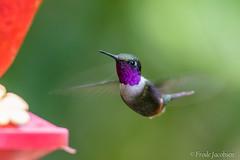 Purple-throated Woodstar (Calliphlox mitchellii) (Frode Jacobsen) Tags: purplethroatedwoodstar alambicloudforestlodge neotropical neotropicalnaturebirdingtrips calliphloxmitchellii frodejacobsen ecuador bird aves hummingbird pollinator nectivore