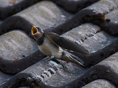 A swallow on the roof (Thibault Gaulain) Tags: france nikon d7200 summer été tamron 100 400 100400 bird birb scream eat roof swallow feed