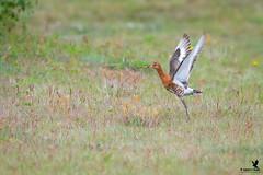 Black-tailed Godwit (Osprey-Ian) Tags: