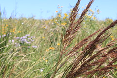 Borth Prairie Reconstruction (USFWS Mountain Prairie) Tags: fws usfws usfishandwildlifeservice wildlife conservation nature kulmwmd kulmwetlandmanagementdistrict wetlandmanagementdistrict nd northdakota wpa waterfowlproductionarea prairiereconstruction seededprairie prairierestoration wildflower nativewildflower indiangrass sorghastrumnutans