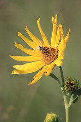 Syrphid fly on Maximilian Sunflower (USFWS Mountain Prairie) Tags: fws usfws usfishandwildlifeservice wildlife conservation nature kulmwmd kulmwetlandmanagementdistrict wetlandmanagementdistrict nd northdakota wildflower nativewildflower syrphidfly maximiliansunflower helianthusmaximiliani