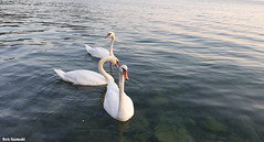 Lake Ohrid swans (borisnaumoski) Tags: swans birds ohrid macedonia lake nature