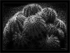 focus stacked with Helicon Focus (Dierk Topp) Tags: a7rii a7rm2 heliconfocus ilce7rii ilce7rm2 sonya7rii sonyfe24105mmf4goss blumen cactus canaryislands flowers focusstacking helicon islascanarias lanzarote sony