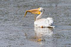 American White Pelican (alanrharris53) Tags: great falls montana bird aves pelican american white pelecanuserythrorhynchos