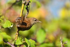 Wren (robin elliott photography) Tags: wren bird birds wings eyes gardenbirds outdoors outside nikon nikond850 nuture wild wildlife