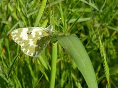 Eastern Bath White Butterfly (Pontia edusa) (Nick Dobbs) Tags: butterfly insect bath white pontia edusa eastern malta