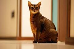 Lizzie 135mm portrait in the hallway (DizzieMizzieLizzie) Tags: abyssinian aby dizziemizzielizzie portrait cat feline gato gatto katt katze kot meow pisica neko gatos chat ilce pose classic golden bokeh dof 2019 lizzie sony a7iii ilce7m3 fe 135mm f18 gm