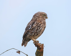 Little Owl-8500594 (seandarcy2) Tags: birds wild wildlife animals woodland owls owl littleowl birdsofprey bucks uk