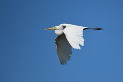 Great White Egret (robin elliott photography) Tags: greatwhiteegret bird birds waterbirds flight feathers nature wild sky blue summer nikon nikond850