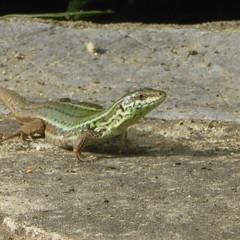 P1200088 (omirou56) Tags: 11 panasoniclumixdmctz40 σαυρα ερπετο φυση lizard reptilian green nature natur natura hellas