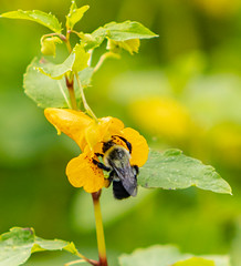 Jewelweed and a Bee (mahar15) Tags: wildflower plant spottedtouchmenot nativewildflower minnesotanativewildflower nature flower touchmenot outdoors jewelweed beeonflower insect bee summer