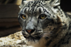 Snow Leopard (AislinR) Tags: cat leopard omahazoo bigcats nature animals