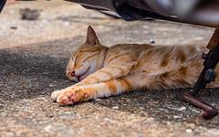 相島の猫 (S.R.G - msucoo93) Tags: 日本 九州 福岡 新宮 貓 猫島 gx8 sigma56mmf14