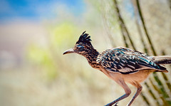 Colorful Roadrunner (Karen McQuilkin) Tags: roadrunner vird fast uath desert beep bird