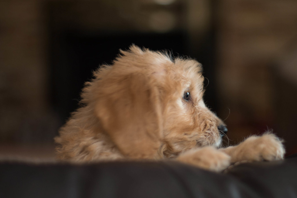 The World's newest photos of dog and goldendoodle - Flickr